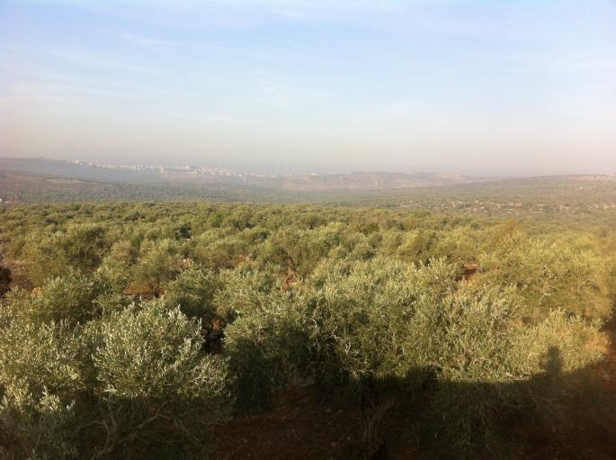 olive_trees_horizon_mini