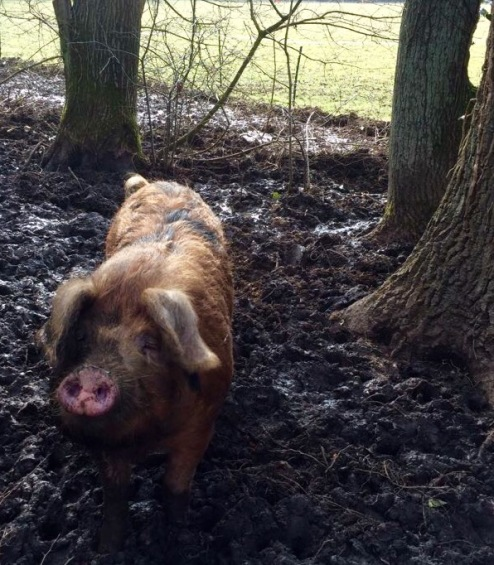 Pig_blog 2