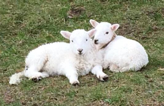 Sheep_blog 2